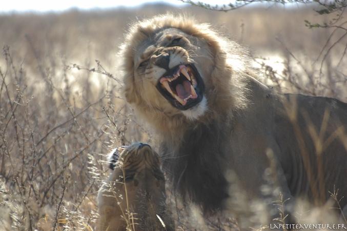 Le lion rugit dans le Kalahari