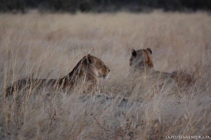 lionnes au botswana