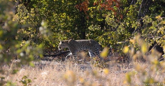 leopard au botswana