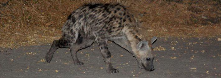 hyene au botswana
