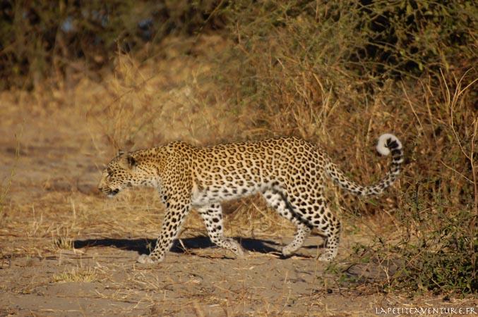 léopard dans le nord du botswana