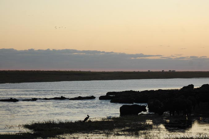 buffles au nord du botswana