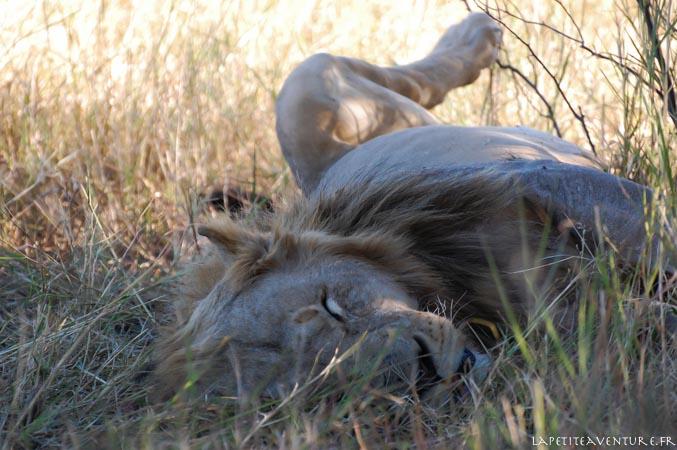 lion au parc de moremi