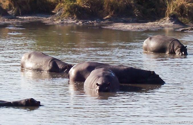 Hippopotame en zambie