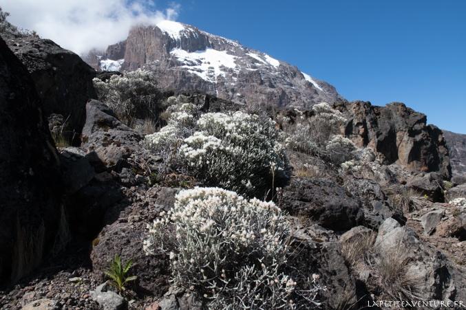 plante du kilimandjaro