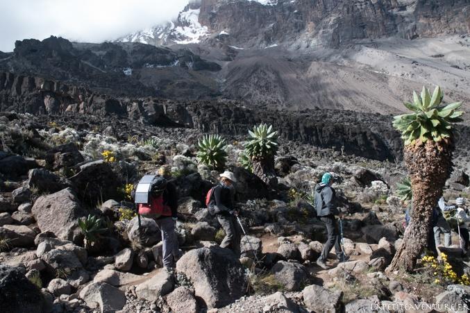 plante senecio kilimanjari