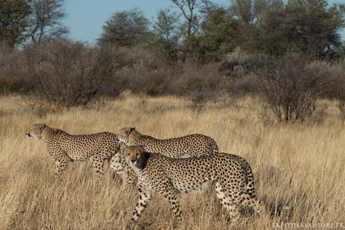guépards au Botswana