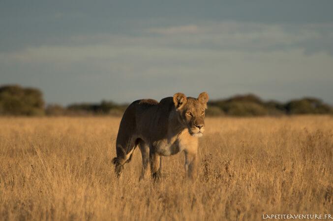 Lionne au Botswana
