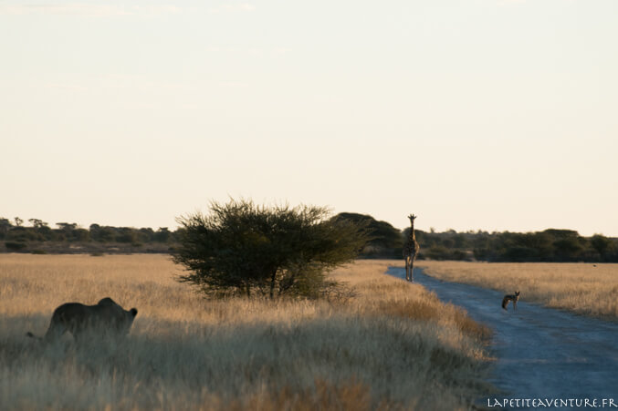 lionne en chasse
