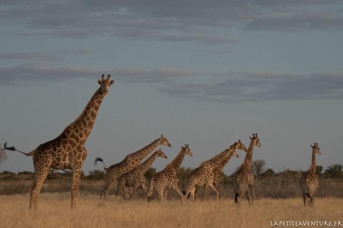 girafes du kalahari