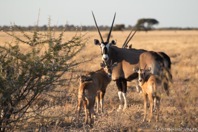 oryx dans le kalahari