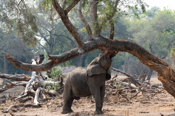 jeune éléphant dans mana Pools