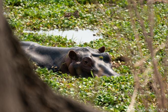 hippo à mana pools