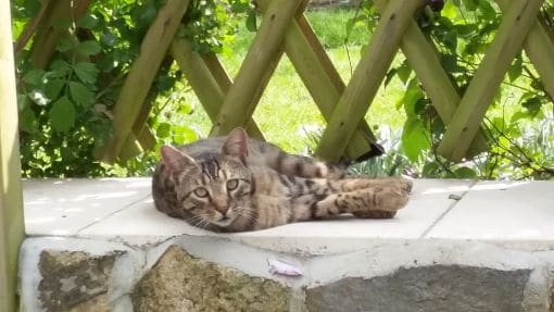 Leon, our Bengal, en repose. Essential information about your Vendée holiday