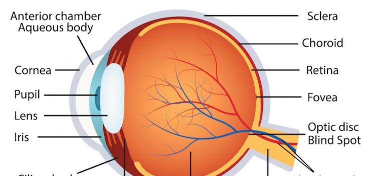 human eye anatomy la