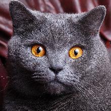 kucing bulu pendek Inggris