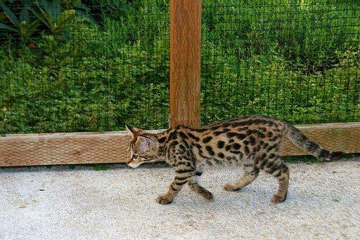 Саванна (Ашера) Kucing Savana (Asherah)