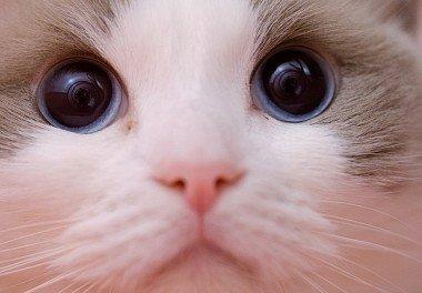 Kucing Amerika - Ragdoll