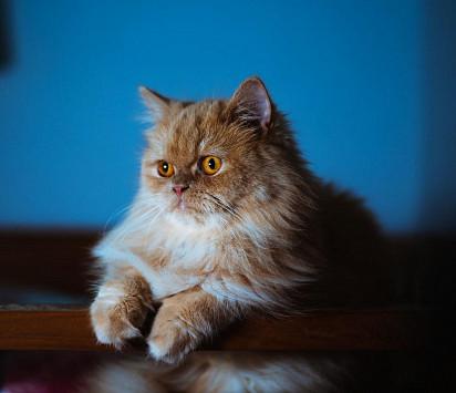 kucing persia Kucing termahal di dunia