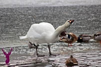 photos-cygnes-canards-Contrex (4)