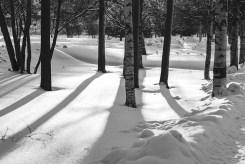 Birch shadows in the snow.