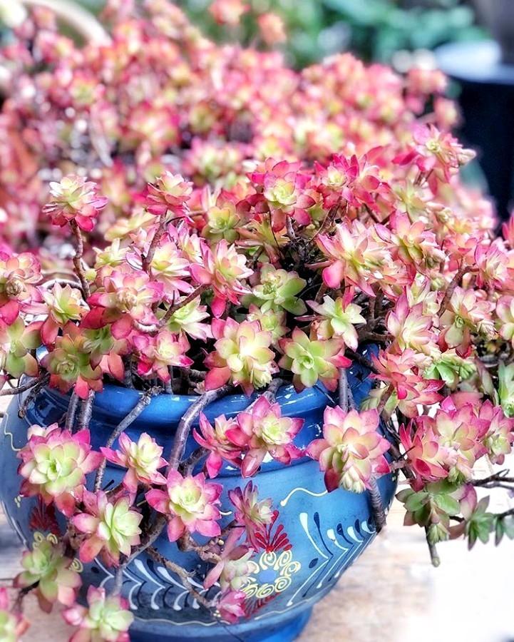 Plante De Rocaille Qui Ne Gele Pas : plante, rocaille, Sedum, Palmeri:, Plante, Grasse, Rustique, Fleurit, Hiver, [LPQP]