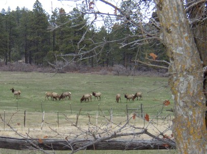 Small herd of elk nearby