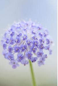 Didiscus caeruleus Blue Lace Flower ©Chiltern Seeds