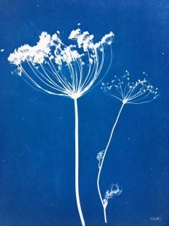 Aneth (Anethum graveolens, Apiaceae) cyanotype, 24x32cm ©GLSG