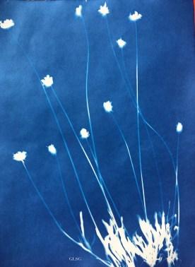 Coreopsis (Asteraceae) cyanotype, 24x32cm ©GLSG
