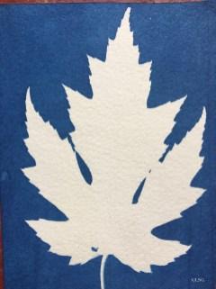 Érable lacinié (Acer saccharinum laciniatum Wieri, Sapindaceae) cyanotype, 8,5x12cm ©GLSG