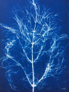 Fenouil, feuille (Foeniculum vulgare, Apiaceae) cyanotype, 24x32cm ©GLSG