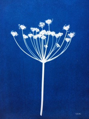 Fenouil, fleur (Foeniculum vulgare, Apiaceae) cyanotype, 24x32cm ©GLSG