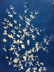 Gaillet gratteron (Galium aparine, Rubiaceae) cyanotype, 24x32cm ©GLSG