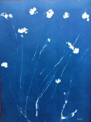 Immortelle de Corse (Helichrysum italicum, Asteraceae) cyanotype, 24x32cm ©GLSG