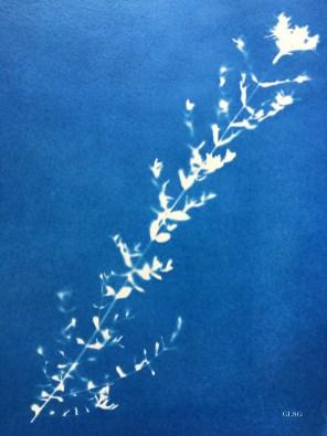Millepertuis (Hypericum perforatum, Hypericaceae) cyanotype, 24x32cm ©GLSG
