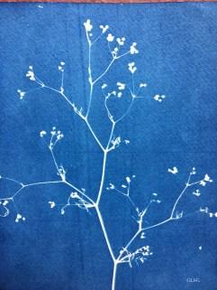 Persil des Moissons (Petroselinum segetum, Apiaceae) cyanotype, 24x32cm ©GLSG
