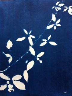 Ronce (Rubus fruticosus, Rosaceae) cyanotype, 24x32cm ©GLSG