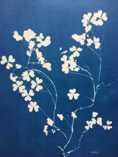 Trèfle blanc (Trifolium repens, Fabaceae) cyanotype, 24x32cm ©GLSG