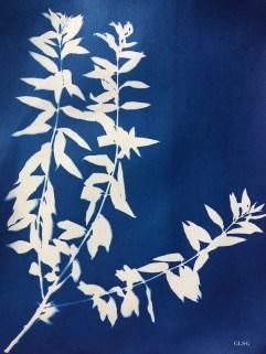 Verveine citronnelle (Lippia triphylla, Verbenaceae) cyanotype, 24x32cm ©GLSG