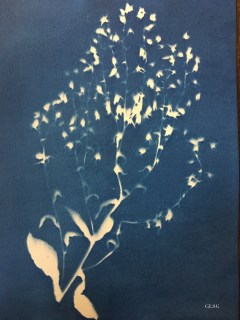 Bourrache (Borago officinalis, Boraginaceae) cyanotype, 24x32cm ©GLSG