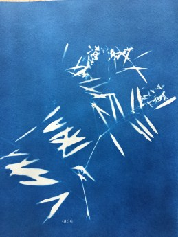 Jarosse (Vicia cracca, Fabaceae) cyanotype, 24x32cm ©GLSG
