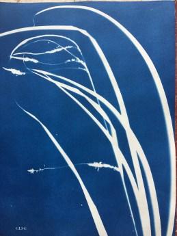Laîche à épis pendants (Carex pendula, Poaceae) cyanotype, 24x32cm ©GLSG