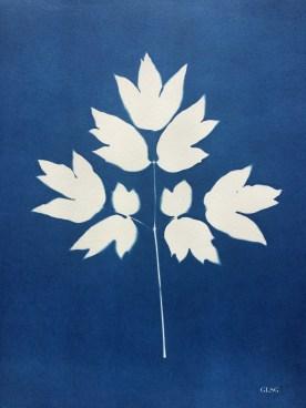 Pivoine, feuille (Paeonia suffruticosa, Paeoniaceae) cyanotype, 24x32cm ©GLSG