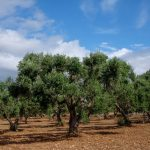 Los árboles. El Olivo en Apulia ( Puglia ), Italia.