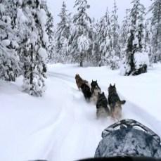 Nos chiens de traineau