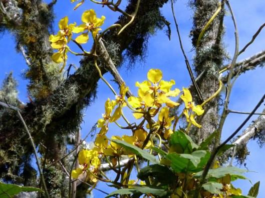 Cyrtochilum macranthum II