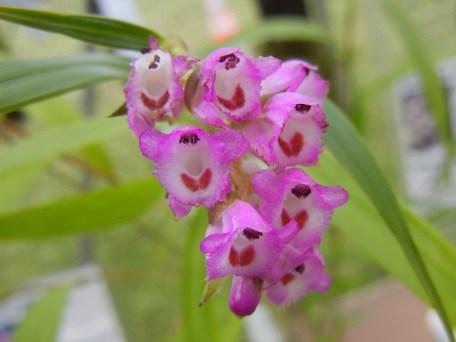 Elleanthus amethystinus