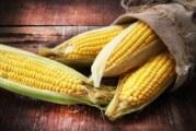 Le Mexique bannit le maïs OGM et le glyphosate !