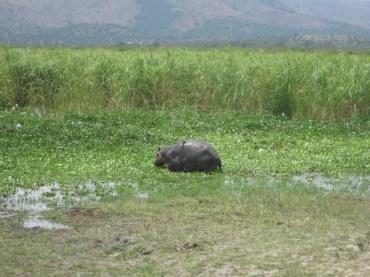 Cría de hipopótamo